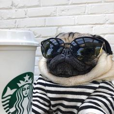 Learn even more relevant information on Pugs. Have a look at our site. Learn even more relevant information on Pugs. Have a look at our site. Pug Meme, Funny Pugs, Cute Funny Animals, Cute Baby Animals, Cute Baby Pugs, Cute Dogs And Puppies, Pug Dogs, Bulldog Puppies, Funny Animal Pictures