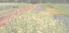 De Bolster: zaadteeltbedrijf voor biologische en biologisch-dynamische zaden