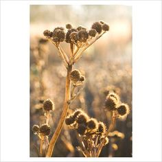 Seedheads of Eryngium yuccifolium, Sea Holly in December, Winter - GAP Photos - Specialising in horticultural photography Sea Holly, Spring Plants, Foliage Plants, Colorful Garden, Garden Structures, Early Spring, Winter Garden, Horticulture, Trees To Plant