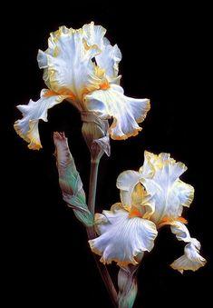 Iris Flowers, Exotic Flowers, Amazing Flowers, Planting Flowers, Beautiful Flowers, Iris Flower Photos, Iris Painting, Iris Garden, Botanical Art