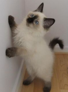 Ragdoll kitten~I so want one of these cats!