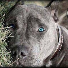 Beautiful Pit Bull eyes