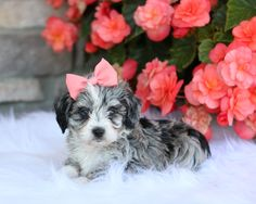 🤩🌺🐾 Friendly, #Playful, and Lovable.... These adorable #MiniAussiedoodle puppies are showered with love and attention. From that first tail wag and puppy kiss, these cuties are sure to steal your heart! #LancasterPuppies www.LancasterPuppies.com Puppies For Sale, Dogs And Puppies, Poodle Mix Puppies, Puppy Quotes, Mini Poodles, Mini Aussie, Lancaster Puppies, German Shorthaired Pointer, New Puppy