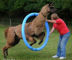 Terri from the UK spends hours training her llamas. She says llamas are very smart! I can't wait to get my own.