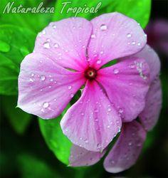 La Vicaria es una planta medicinal muy utilizada en el campo de la medicina, Vinca rosea o Catharanthus roseus