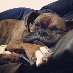Boxer <3 #boxer #boxers #boxerlovers