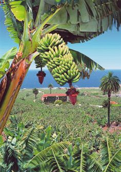 banana plantations on the north coast of Tenerife Grand Canaria, Wonderful Places, Beautiful Places, Island Beach, Canary Islands, Beautiful Islands, Places To Visit, Around The Worlds, Landscape