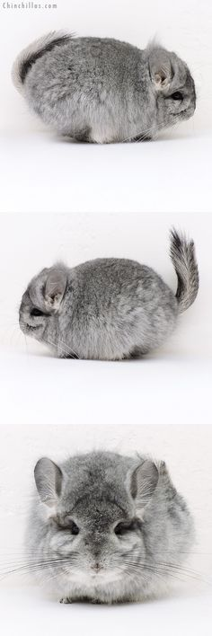 Exceptional Standard CCCU Royal Persian Angora Female with Lion Mane Chinchilla