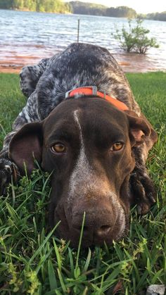 Mesmerizing Training Your Dog Proven, Useful Hints And Tips Ideas. Remarkable Training Your Dog Proven, Useful Hints And Tips Ideas. Gsp Puppies, Pointer Puppies, Pointer Dog, Cute Puppies, Cute Dogs, Best Dog Breeds, Best Dogs, Dog Crying, Baby Animals