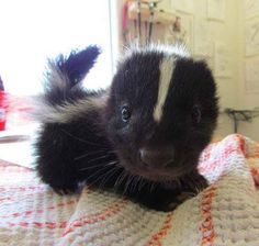 Suddenly a tiny baby skunk