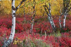 Syksyn väriloisto - syksy syys syksyn syysmaisema syysaika syksyinen syyskuu syyslehdet maaruska ruska ruska-aika ruskamaisema syysvärit syysväritys ruskavärit ruskaväritys värikäs värikylläinen juolukan lehdet juolukka koivut koivikko koivun rungot punertava punertaa punerrus kellertävä kellertää aluskasvillisuus kasvillisuus kasvit varvut luonto
