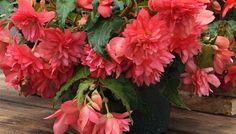 Begonia 'Funky™ Pink'