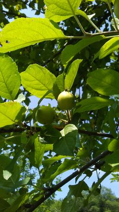 A few apples continue to grow in the summer sun out in the old orchard here at Stowe Farm Community. Some may be used for cider in the autumn. Sweet!