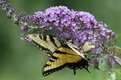 A Tiger Swallowtail; butterfly on a Buddleja; Butterfly Heaven; flower