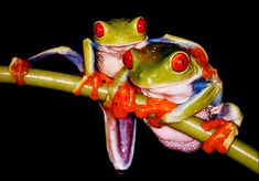 Frog hug. (POISONOUS COLORFUL FROGS by Citizen of Two Worlds, via Flickr)