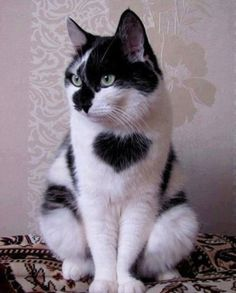 Lonely #Stray #Cat With a Big #Heart on His Chest Finds a Loving #Home in Time For Valentine's Day