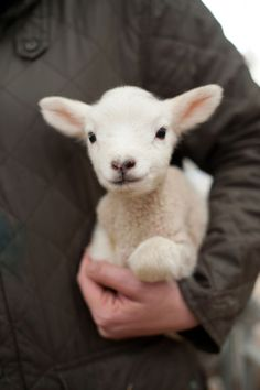 This cute baby lamb is ready to take on the world!