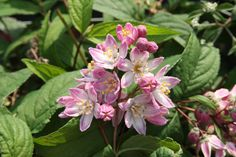 DEUTZIA x 'Strawberry Fields' Strawberry Fields, Gardens, Trees And Shrubs, Plant