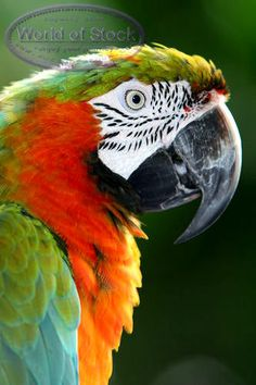 Stock Photo titled: Colorful Mayan Riviera Parrot Face Up Close, unlicensed use prohibited