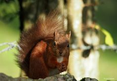 Time with the red squirrels of Eden Valley, Cumbria (Photos)