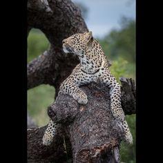 "Alex Jordan (@alexjamesjordan) on Instagram: ""The Ingrid dam female's cub stares up at her mother from a lower branch #londolozi #africa #Africa #Leopard """