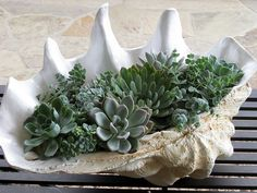succulents in a shell
