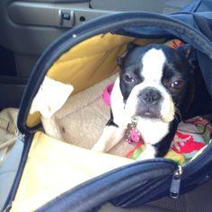 Fiona- Boston Terrier
