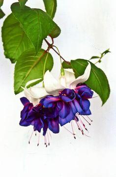 Beautiful Flowers Garden, Flowers Nature, Amazing Flowers, Pretty Flowers, Beautiful Gardens, Fuchsia Plant, Fuchsia Flower, Exotic Plants, Exotic Flowers