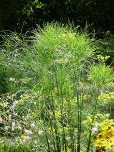 Papyrus (Cyperus papyrus) dans un massif du jardin des présentateurs, parc de Bagatelle en été, 31 août 2012, photo Alain Delavie http://www.pariscotejardin.fr/2012/09/le-papyrus-a-du-toupet/