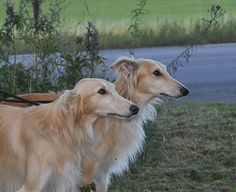 2 year old Silken Windhound brothers, Smartypants (left) and Basse (right)