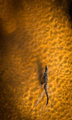 Nile crocodile by ryan green
