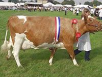 Small Dairy Cow Breeds | the ayrshire cow is another breed of dairy cow which originates from ...