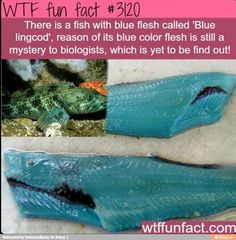 A fish with blue flesh? Who knew. - Ewww Meme - A fish with blue flesh? Who knew. The post A fish with blue flesh? Who knew. appeared first on Gag Dad. Wow Facts, Wtf Fun Facts, True Facts, Funny Facts, Random Facts, Crazy Facts, Funny Animal Facts, Random Stuff, Strange Facts
