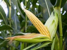 picture of corn field - Close up corn on the stalk in the field - JPG