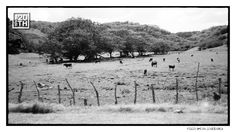 Photo 310 of 365  Field with livestock    Oklahoma ,South Africa or Jamaica?     #Hanson #Hanson20th