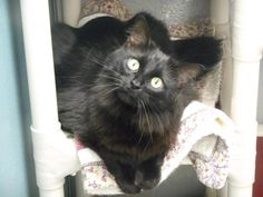 Petfinder Maine Coon Mix Sugar Nelson County Humane Society Bardstown