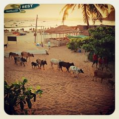 #Goa #India #Baga #Beach #cow #crossing #sunset #travel #explore #visit #cheap #fun #resorts #beautiful #view #Asia