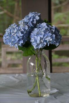 blue hydrangeas-I think hydrangeas are my new favorite flower
