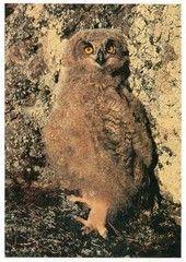 Huuhkajan poikanen | Perromania - pieni postikorttikauppa