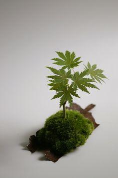 梅雨挿し、コハウチハカエデ。 : 盆栽日記-the experimental bonsai diary-