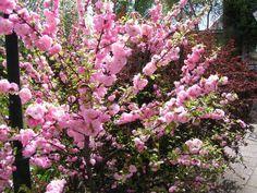 Prunus Triloba, Rosenmandel. Zon 5. 1-2 m. Tidig riklig vårblom, oansenlig resten av året. Inga frukter. Tycker om kalk- och näringshaltig jord. De grenar som blommar beskärs ned till 2-3 ögon för att undvika grentorka samt få rikligare blom.