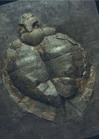 Quigley's Cabinet: Messel Pit Alleochelys
