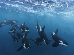 Picture of orcas hun mother nature moments