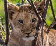 The Connection Between Walking With Lions & Canned Lion Hunting