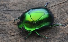 Metallic Green Beetle | Adrián Afonso