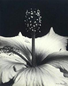 Man Ray- Hibiscus Blossom , 1946