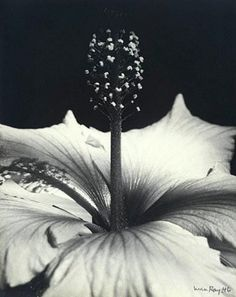 Hibiscus Blossom by Man Ray, 1946