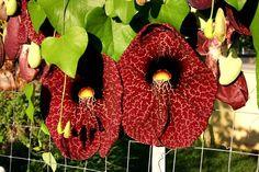 aristolochia gigantea fioritura