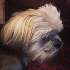 A new #dogfriendly #micropubs #hydebar in #norton #alfietheangryshihtzu #dogblog #shihtzu