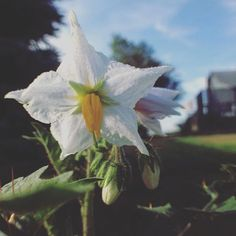 Morelle de Balbis flower. (Solanum sisymbriifolium) also know as litchi tomato.  The stems and leaves of this plant contain solasodine which…